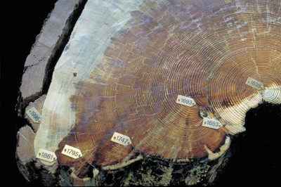 Fire scars in a Pinus ponderosa crosscut - CC3.0 by Chris Schnepf, University of Idaho