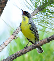 Kirtland's Warbler photo by Joel Tick - USFWS