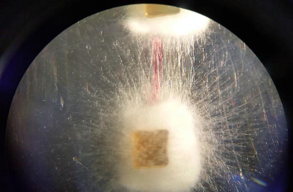 Microscope cellphone shot of agar cubes